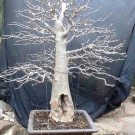 Baobab after wiring
