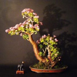 Crassula arborescens 2005