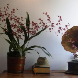 Oncidium Sherry Babe 'sweet fragrans'