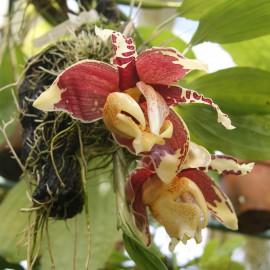 Stanhopea nigro-violacea