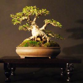 Ficus burtt davyi