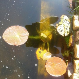 This plant suffered from cold in the  organic pond, so it went back in a tub with heaters.