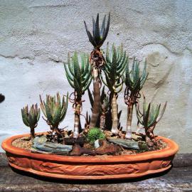 Aloe dicotoma, Kokerboom woud