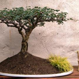 Acacia burkei