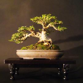 Ficus burtt davyi Award winning tree; Best African Species in any style.