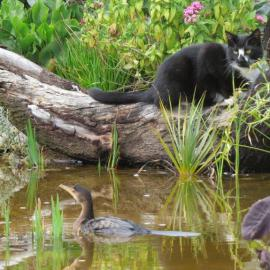 Cat visiting Cormorant